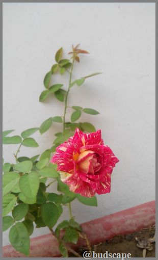 striped-roses-02