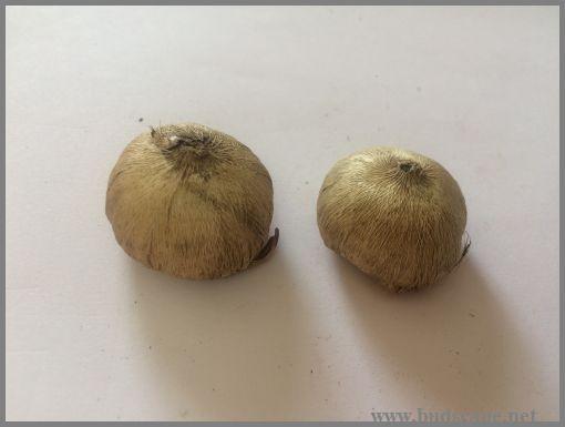 chincherinchee-bulb-ornithogalum-bulb