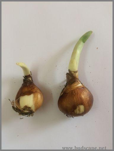 daffodil-bulb