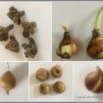IDENTIFY FLOWER BULBS