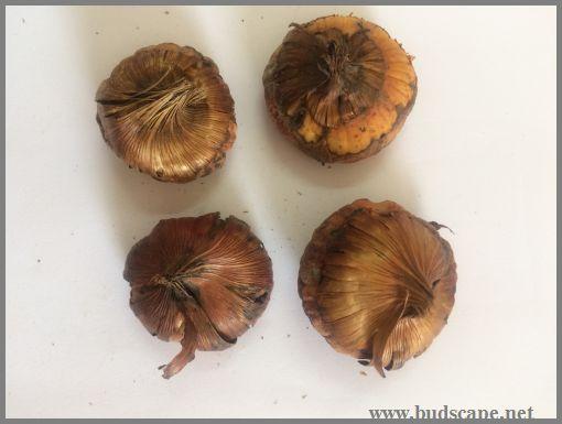 gladiolus-bulb