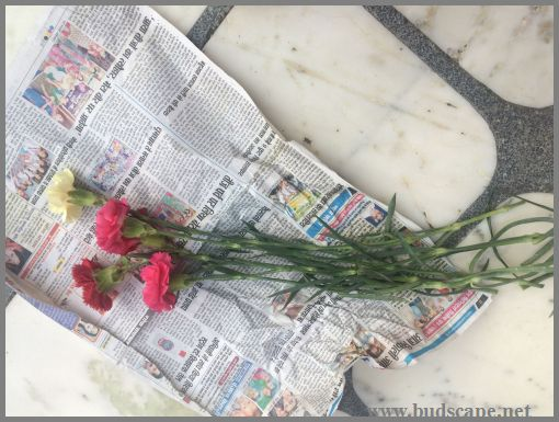 how-to-grow-carnations-from-cuttings-8