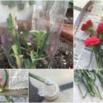 HOW TO GROW CARNATION PLANT FROM FLOWER STICKS