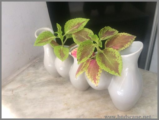 rooting-coleus-in-water