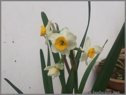 GROWING DAFFODILS FROM BULBS