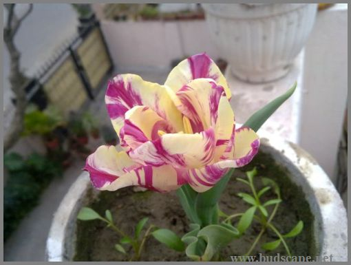 ICE CREAM TULIP IN PUNJAB