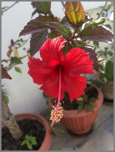 RED HIBISCUS FOR HAIR