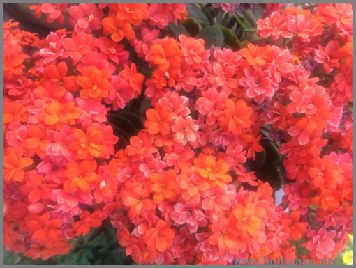 DOUBLE KALANCHOE ORANGE CALANDIVA