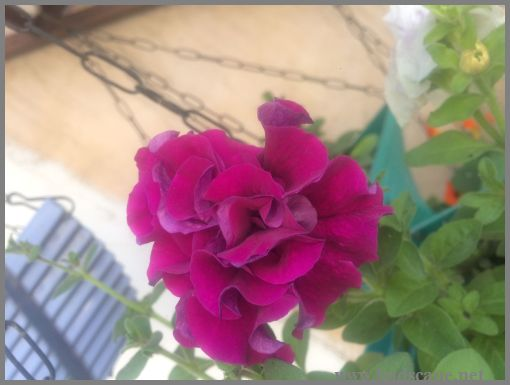 DOUBLE PETUNIA FROM SEED MAUVE