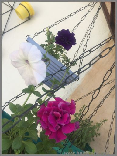 DOUBLE PETUNIA IN HANGING BASKETS