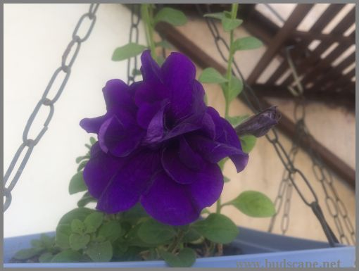 DOUBLE PURPLE PETUNIA IN HANGING BASKET