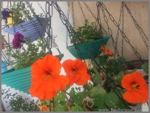 NASTURTIUM IN HANGING BASKETS