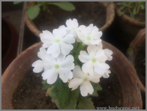 WHITE VERBENA HYBRID