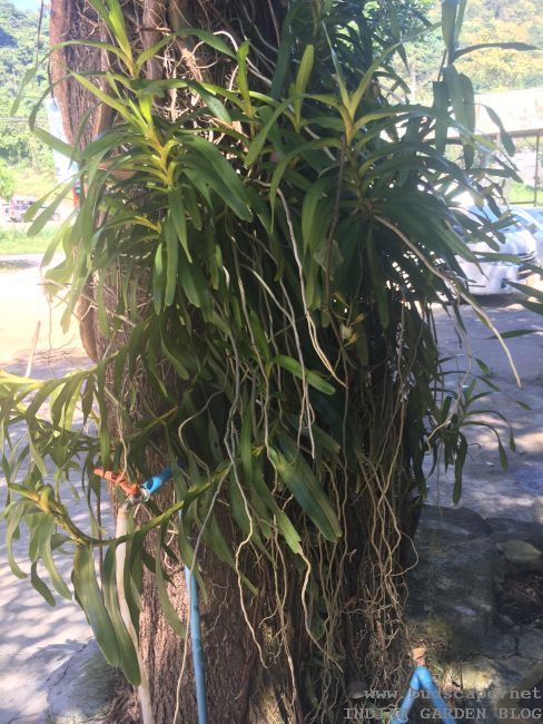ORCHIDS GROWING ON TREE