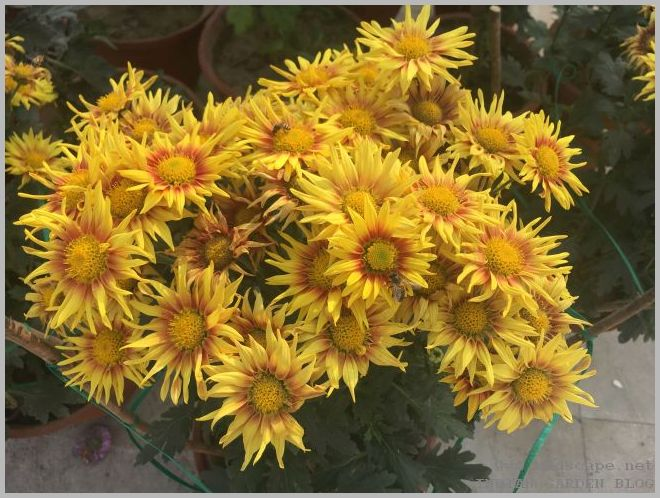 yellow chrysanthemums with red center